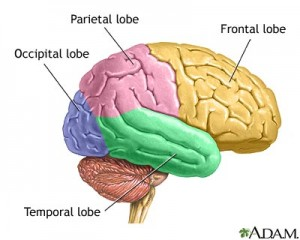 lobes-of-the-brain